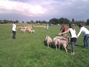 schapen hoeden